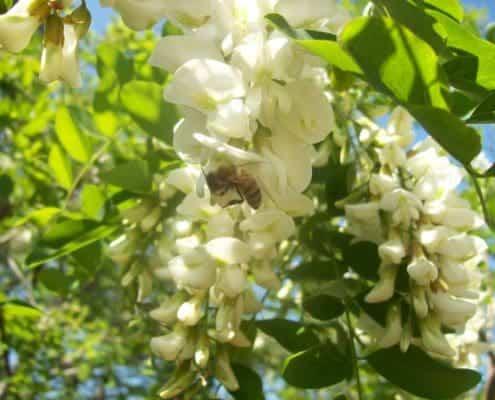 """fiore di robinia """"acacia"""" con ape bottinatrice azienda agricola scoiattolo rosso apicoltura coltivazione nocciole"""